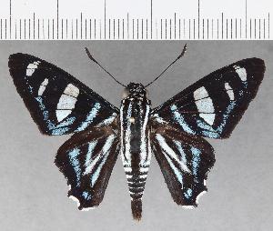 (Hesperiidae_gen sp. CF713 - CFC21425)  @11 [ ] copyright (2019) Christer Fahraeus Fahraeus Institute