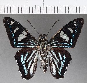 (Hesperiidae_gen sp. CF544 - CFC21427)  @11 [ ] copyright (2018) Christer Fahraeus Fahraeus Institute