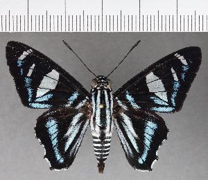 (Hesperiidae_gen sp. CF705 - CFC21435)  @11 [ ] copyright (2019) Christer Fahraeus Fahraeus Institute