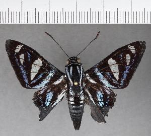 (Hesperiidae_gen sp. CF518 - CFC21459)  @11 [ ] copyright (2018) Christer Fahraeus Fahraeus Institute