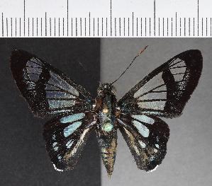 (Hesperiidae_gen sp. CF555 - CFC21502)  @11 [ ] copyright (2018) Christer Fahraeus Fahraeus Institute