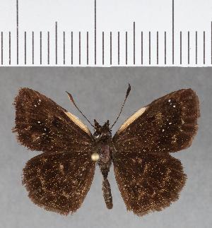 (Hesperiidae_gen sp. CF742 - CFC02154)  @11 [ ] copyright (2019) Christer Fahraeus Fahraeus Institute