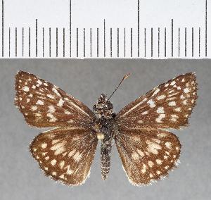 (Hesperiidae_gen sp. CF368 - CFC02158)  @11 [ ] copyright (2018) Christer Fahraeus Fahraeus Institute