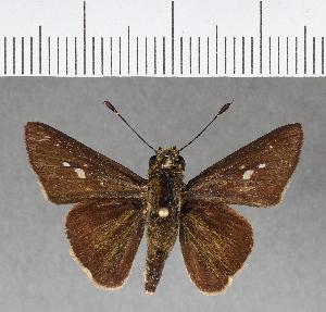 (Hesperiidae_gen sp. CF141 - CFC02171)  @11 [ ] copyright (2018) Christer Fahraeus Fahraeus Institute