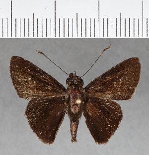 (Hesperiidae_gen sp. CF160 - CFC02172)  @11 [ ] copyright (2018) Christer Fahraeus Fahraeus Institute