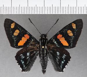 (Hesperiidae_gen sp. CF553 - CFC21801)  @11 [ ] copyright (2018) Christer Fahraeus Fahraeus Institute