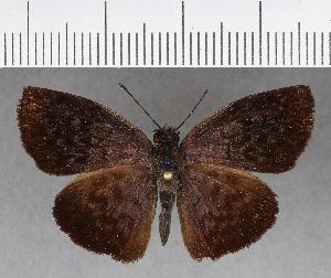 (Hesperiidae_gen sp. CF653 - CFC02183)  @11 [ ] copyright (2018) Christer Fahraeus Fahraeus Institute
