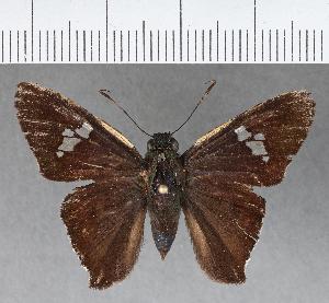(Hesperiidae_gen sp. CF293 - CFC02193)  @11 [ ] copyright (2018) Christer Fahraeus Fahraeus Institute