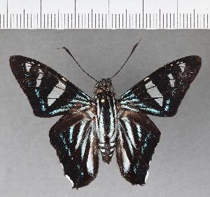 (Hesperiidae_gen sp. CF537 - CFC02221)  @11 [ ] copyright (2018) Christer Fahraeus Fahraeus Institute