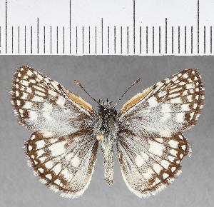 (Hesperiidae_gen sp. CF362 - CFC02335)  @11 [ ] copyright (2018) Christer Fahraeus Fahraeus Institute