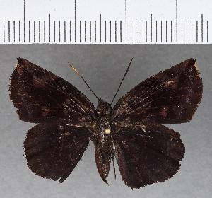 (Hesperiidae_gen sp. CF766 - CFC02380)  @11 [ ] copyright (2019) Christer Fahraeus Fahraeus Institute