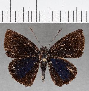 (Hesperiidae_gen sp. CF804 - CFC25323)  @11 [ ] copyright (2019) Christer Fahraeus Fahraeus Institute