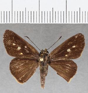 (Hesperiidae_gen sp. CF808 - CFC25670)  @11 [ ] copyright (2019) Christer Fahraeus Fahraeus Institute