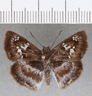 (Hesperiidae_gen sp. CF809 - CFC25866)  @11 [ ] copyright (2019) Christer Fahraeus Fahraeus Institute