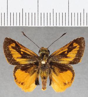 (Hesperiidae_gen sp. CF810 - CFC25870)  @11 [ ] copyright (2019) Christer Fahraeus Fahraeus Institute