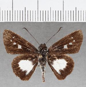 (Hesperiidae_gen sp. CF813 - CFC25875)  @11 [ ] copyright (2019) Christer Fahraeus Fahraeus Institute