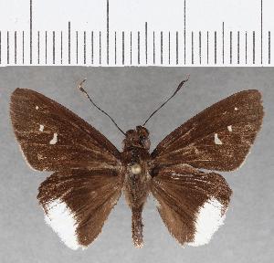 (Hesperiidae_gen sp. CF815 - CFC25884)  @11 [ ] copyright (2019) Christer Fahraeus Fahraeus Institute