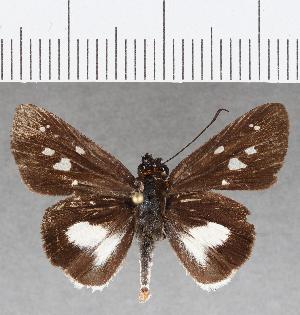 (Hesperiidae_gen sp. CF816 - CFC25886)  @11 [ ] copyright (2019) Christer Fahraeus Fahraeus Institute