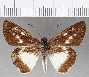 (Hesperiidae_gen sp. CF820 - CFC25893)  @11 [ ] copyright (2019) Christer Fahraeus Fahraeus Institute