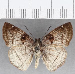 (Hesperiidae_gen sp. CF821 - CFC25959)  @11 [ ] copyright (2019) Christer Fahraeus Fahraeus Institute