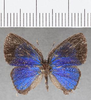 (Lycaenidae_gen - CFC26054)  @11 [ ] copyright (2019) Christer Fahraeus Fahraeus Institute