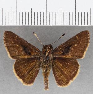 (Hesperiidae_gen sp. CF825 - CFC26196)  @11 [ ] copyright (2019) Christer Fahraeus Fahraeus Institute