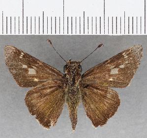 (Hesperiidae_gen sp. CF826 - CFC26391)  @11 [ ] copyright (2019) Christer Fahraeus Fahraeus Institute