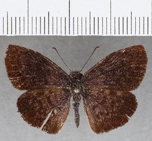 (Hesperiidae_gen sp. CF807 - CFC26393)  @11 [ ] copyright (2019) Christer Fahraeus Fahraeus Institute