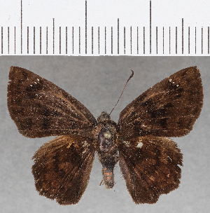(Hesperiidae_gen sp. CF805 - CFC26394)  @11 [ ] copyright (2019) Christer Fahraeus Fahraeus Institute