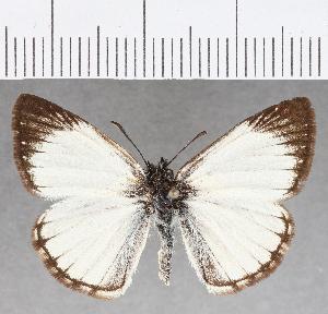 (Hesperiidae_gen sp. CF803 - CFC26395)  @11 [ ] copyright (2019) Christer Fahraeus Fahraeus Institute