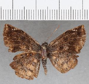 (Hesperiidae_gen sp. CF829 - CFC26398)  @11 [ ] copyright (2019) Christer Fahraeus Fahraeus Institute