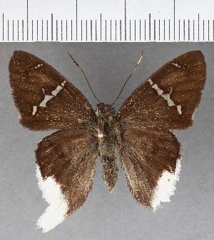(Hesperiidae_gen sp. CF612 - CFC03368)  @11 [ ] copyright (2018) Christer Fahraeus Fahraeus Institute