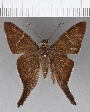 (Hesperiidae_gen sp. CF601 - CFC03373)  @11 [ ] copyright (2018) Christer Fahraeus Fahraeus Institute