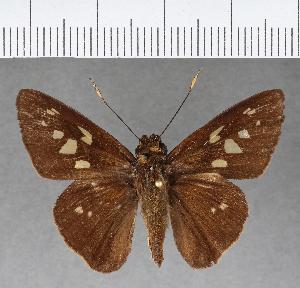 (Hesperiidae_gen sp. CF195 - CFC03379)  @11 [ ] copyright (2018) Christer Fahraeus Fahraeus Institute