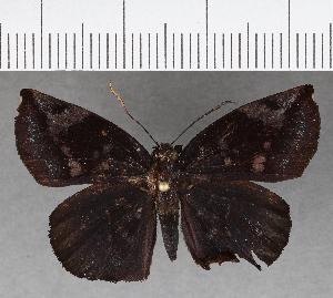 (Hesperiidae_gen sp. CF763 - CFC03520)  @11 [ ] copyright (2019) Christer Fahraeus Fahraeus Institute