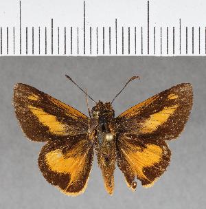 (Hesperiidae_gen sp. CF270 - CFC03597)  @11 [ ] copyright (2018) Christer Fahraeus Fahraeus Institute