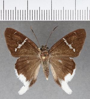 (Hesperiidae_gen sp. CF603 - CFC03649)  @11 [ ] copyright (2018) Christer Fahraeus Fahraeus Institute