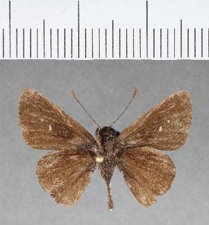 (Hesperiidae_gen sp. CF187 - CFC03712)  @11 [ ] copyright (2018) Christer Fahraeus Fahraeus Institute