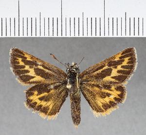 (Hesperiidae_gen sp. CF267 - CFC03721)  @11 [ ] copyright (2018) Christer Fahraeus Fahraeus Institute