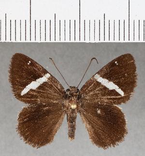 (Hesperiidae_gen sp. CF398 - CFC03725)  @11 [ ] copyright (2018) Christer Fahraeus Fahraeus Institute