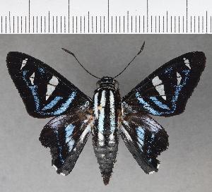 (Hesperiidae_gen sp. CF699 - CFC04069)  @11 [ ] copyright (2019) Christer Fahraeus Fahraeus Institute