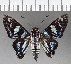 (Hesperiidae_gen sp. CF701 - CFC04070)  @11 [ ] copyright (2019) Christer Fahraeus Fahraeus Institute