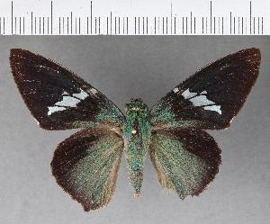 (Hesperiidae_gen sp. CF490 - CFC04071)  @11 [ ] copyright (2018) Christer Fahraeus Fahraeus Institute