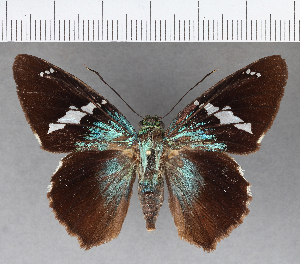 (Hesperiidae_gen sp. CF488 - CFC04073)  @11 [ ] copyright (2018) Christer Fahraeus Fahraeus Institute