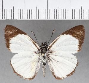 (Hesperiidae_gen sp. CF352 - CFC04400)  @11 [ ] copyright (2018) Christer Fahraeus Fahraeus Institute