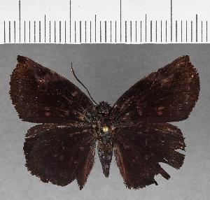 (Hesperiidae_gen sp. CF758 - CFC04407)  @11 [ ] copyright (2019) Christer Fahraeus Fahraeus Institute