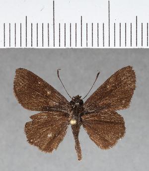 (Hesperiidae_gen sp. CF186 - CFC04570)  @11 [ ] copyright (2018) Christer Fahraeus Fahraeus Institute