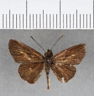 (Hesperiidae_gen sp. CF158 - CFC04571)  @11 [ ] copyright (2018) Christer Fahraeus Fahraeus Institute