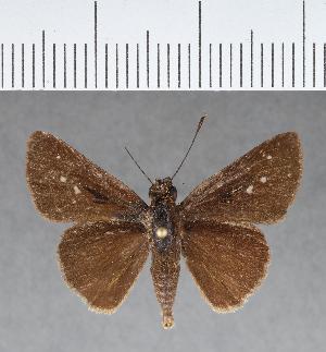 (Hesperiidae_gen sp. CF157 - CFC04572)  @11 [ ] copyright (2018) Christer Fahraeus Fahraeus Institute