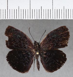 (Hesperiidae_gen sp. CF673 - CFC04574)  @11 [ ] copyright (2018) Christer Fahraeus Fahraeus Institute